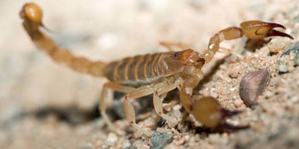 Saiba o que fazer e onde conseguir soro em SP em caso de picada de escorpião